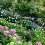 梅雨の楽しみ、紫陽花を見に鎌倉の長谷寺へ